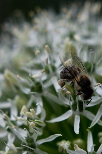 Photographie Frühlingsspaziergang Biene