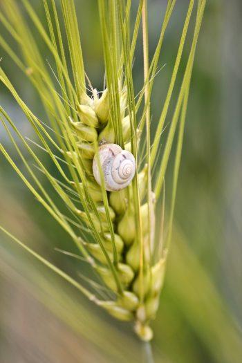 Die Natur Frankens Schnecke an Getreide