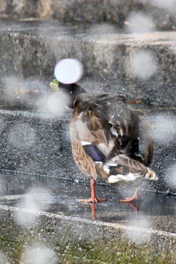 Enten in Überlingen am Bodensee