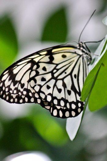Schmetterlinge im Schmetterlingshaus der Blumeninsel Mainau