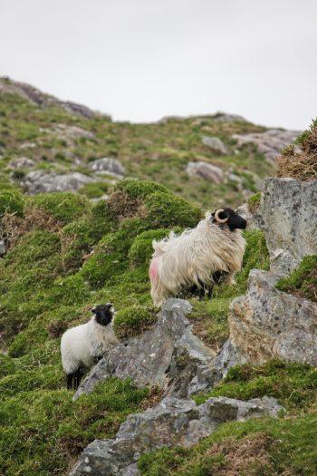 Schafe in Irlands Moor