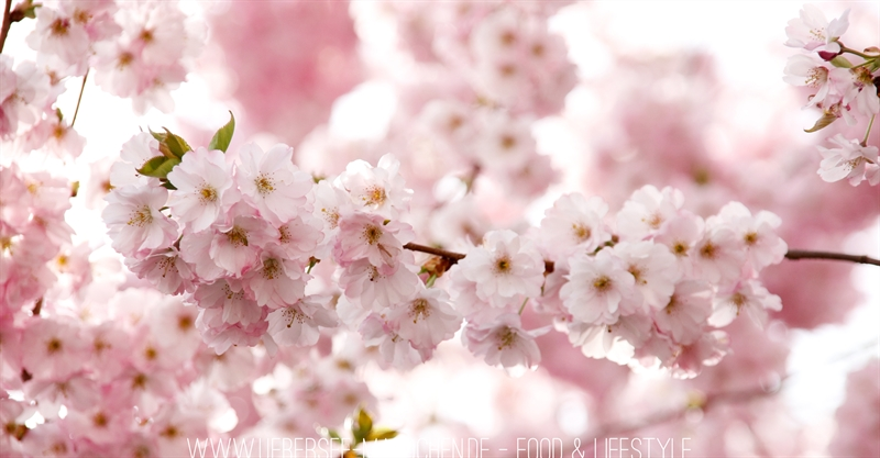 Japanische rosa Frühlingswunder Kirschblüten