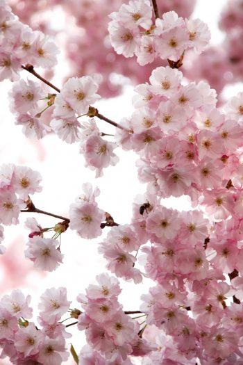 Kirschblüten Bilder