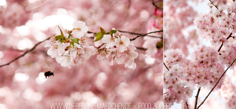 Kirschblüten photographieren mit Hummel