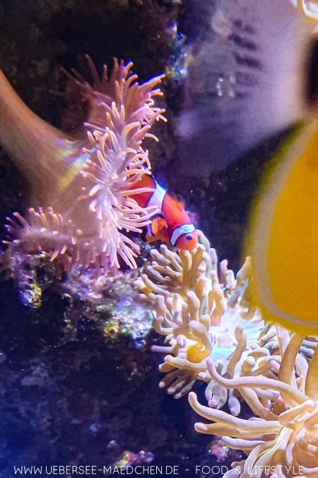 Clownfisch im Sealife Konstanz