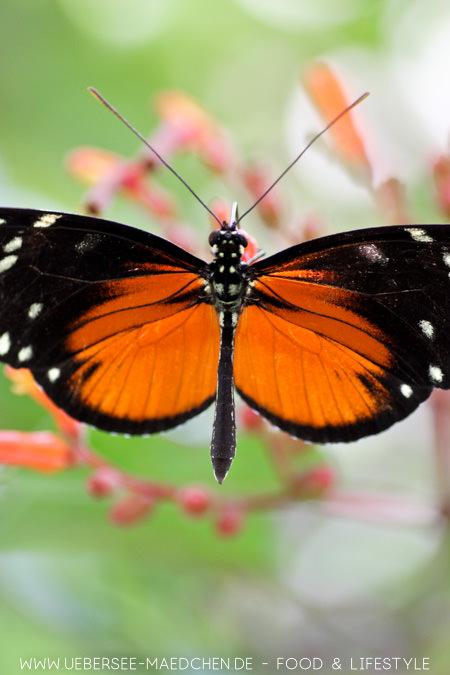 Ein Schmetterling im Schmetterlingshaus der Blumeninsel Mainau