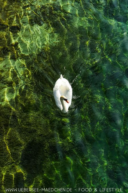 Ein Schwan am Seerhein in Konstanz kostenlose Sehenswürdigkeit