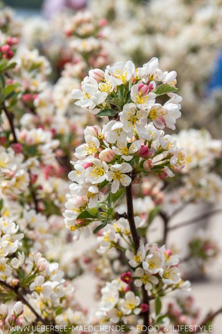 Apfelblüte bei der Landesgartenschau Überlingen